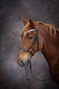 Horse Portrait photo - Auckland